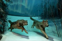 How do you re-create the moon shadows seen on a snowy December night? That was the challenge artist Stephen C. Quinn facedwhen new energy-efficient lights were installed in the wolf diorama, creating new shadows that weren't consistent with the scene.