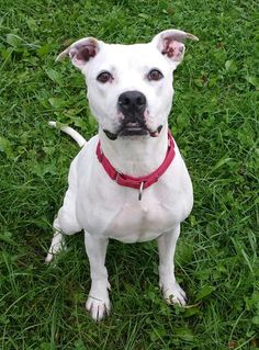 PRINCESS -  **URGENT!!!! is an adoptable Pit Bull Terrier searching for a forever family near Lisbon, OH. Use Petfinder to find adoptable pets in your area.