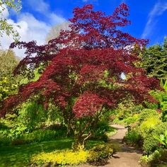 Would you look at this Acer,  Japanese maples have been long favoured among garden designers for their colourful foliage and architectural forms.  Not only that but they are perfect for smaller gardens adding height and scale to their borders  For more information about our award winning planting design service visit our website at www.dreamscapegardens.net  #planting #acer #heretohelp #plantingdesign #trees #gardendesign #stayhome #staysafe Plant Design, Garden Design, Japanese Maple, Acer, Be Perfect, Service Design, Planting, This Is Us, Scale