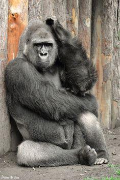 Golo : Flachland Gorillas