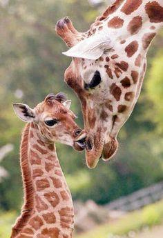 Google+ baby giraffe and mama