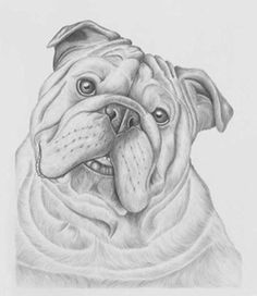 Bulldog Drawings   Artwork for Sale-Graphite Drawings/Prints