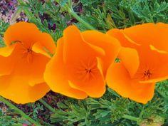 California Poppies. Photos Spring Flowers Half by californiapasha
