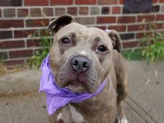 TO BE DESTROYED - 09/22/14 Brooklyn Center -P  My name is GINGER. My Animal ID # is A1013765. I am a female gr brindle and white staffordshire mix. The shelter thinks I am about 1 YEAR   I came in the shelter as a STRAY on 09/11/2014 from NY 11368, owner surrender reason stated was STRAY.