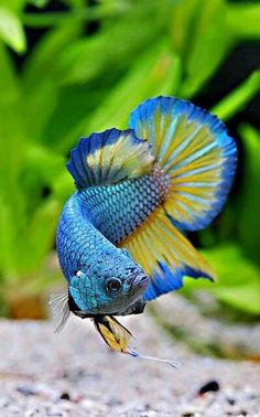 Beautiful Betta Fish. They will flare their gills when feeling threatened, even if it's just their own reflection!
