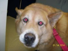 #OWNERSURRENDER URGENT #ROANOKE #VA ONE #SIBERIANHUSKY MIX FEMALE UTD BLUE EYES 8 YEARS OLD 80 LBS GOOD WITH KIDS & DOGS SECOND #SIBERIANHUSKY SPAYED FEMALE UTD RED & WHITE BLUE EYES 9 YEARS OLD GOOD WITH KIDS AND DOGS BEDFORD COUNTY ANIMAL SHELTER 540-586-7690 https://www.facebook.com/permalink.php?story_fbid=628473867211896&id=410109432381675