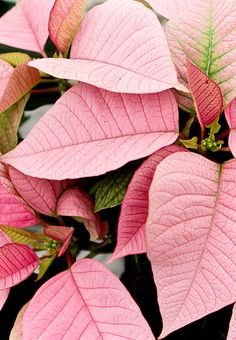 Pink poinsettias!!! Bebe'!!! Beautiful pink ponsetia species!!! Lovely holiday plant!!!