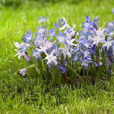 40 Best Deer Resistant Bulbs Images Plants Bulb Flowers Garden