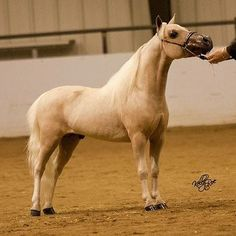 This is a DIRECT World Top Ten son of the famous Buckeroo! Let him put your farm on the map! Offered by Mini Horse Sales