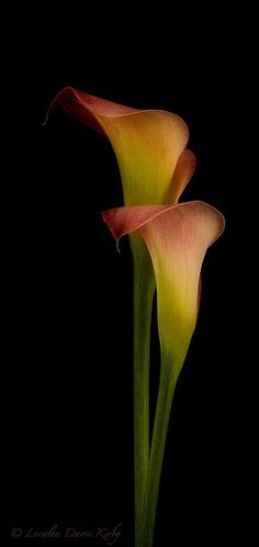 Calla Lily by Faby Posadas Calla Lillies, Calla Lily, Lilies Flowers, Amazing Flowers, Beautiful Flowers, Exotic Flowers, Tropical Flowers, Flowers Black Background, Black Backgrounds
