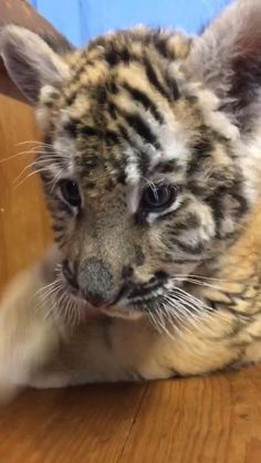 Cute Tiger Cubs, Cute Tigers, Baby Cubs, Baby Tigers, Cute Animal Photos, Cute Animal Videos, Cute Baby Animals, Funny Animals, Wild Animals