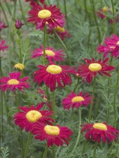 Tanacetum A Colorful Ortment Of Daisy Like White Pink And