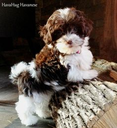 HavaHug Havanese Puppies, is a Michigan based Havanese breeder of quality Chocolate AKC Havanese Dogs. Non-shedding, Hypo-allergenic Puppies. Breeder of the Most Beautiful Chocolate Havanese! Bichon Puppies For Sale, Havanese Puppies, Cute Puppies, Dogs And Puppies, Animals And Pets, Baby Animals, Cute Animals, Bichon Havanais, Biewer Yorkie