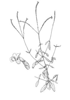 Image result for verbena officinalis drawing black and white