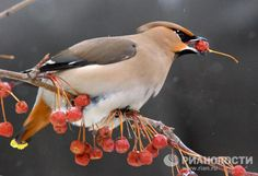 The world's most unusual birds  Waxwings are unable to spit out berries and so swallow them whole instead. The birds can eat so many berries in one day that they double in weight.