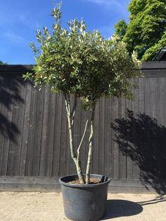 Kleine boom Snoeivorm Steeneik- Quercus ilex, meerstammig Solitaire Mediteraan