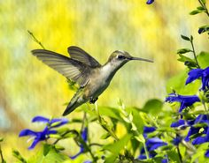 Female Ruby-throated Hummingbird D71_1166 by steffro1, via Flickr