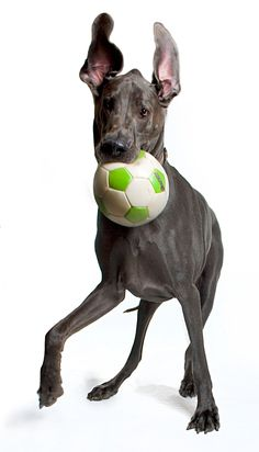 Giant George chats with SheKnows Really Cute Puppies, Cute Dogs, Great Dane Dogs, I Love Dogs, Weimaraner, World's Tallest Dog, Worlds Biggest Dog, Horses And Dogs, Big Dogs