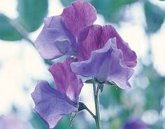 Sweet Peas, a beautiful, delicate  old fashion flower