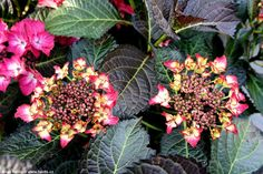 Hydrangea macrophylla  BLACK DIAMONDS® 'Dark Angel Red' - Havlis.cz