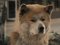 An Amazing Dog Story About an Akita Called Hachikō