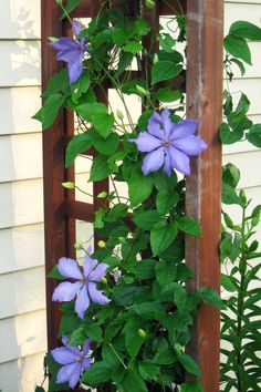 Are you considering growing vines in your yard but not sure how to start? Here are a few vine growing tips for your garden landscape. Plants, Growing Vines, Fast Growing Vines, Organic Gardening Tips, Amazing Gardens, Garden Shrubs, Garden Landscaping, Clematis Vine, Ivy Plants