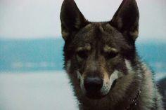 #instawolf #istanbulkopekeğitimi #instafoto #instlove #İstanbul #inswolf #köpek #köpekpansiyonu #köpekeğitimi #pansiyon #pet #animals #like #love #lupocecoslovacco #czechoslovakianwolfdog #can #gezdirme #follow #gurcandoganer