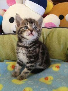 6 weeks old brown tabby kitten, look at his cute face:)