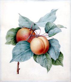 Pierre Joseph Redouté - Apricots