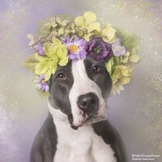 Remi- Photographer Turns Pit Bulls Into Gorgeous Dog Models To Help Them Find Homes
