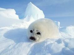 Arctic animals: Arctic fox - Polar bear - Arctic wolf - Harp seal - Walrus - Narwhal - etc. Artic Animals, Baby Animals, Cute Animals, Wild Animals, Hilarious Animals, Harp Seal Pup, Penguins And Polar Bears, Arctic Wolf, Baby Seal