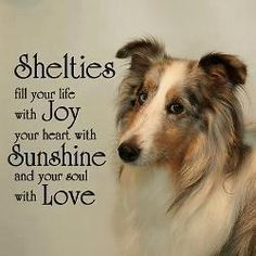 "Click visit site and Check out Best ""SHELTIE"" T-shirts. This website is superb. Tip: You can search ""your name"" or ""your favorite shirts"" at search bar on the top."