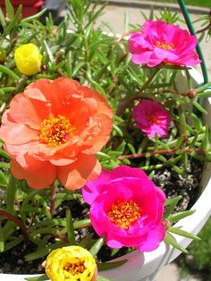 Portulaka, Mary and I have these in strawberry pots every year. They are stunning!