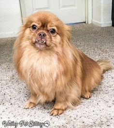 Pomeranian Mix - Top 20 Most Cutest and Huggable PomPom Cross Breed Cute Pomeranian, Pekingese, Mixed Breed, Dog Art, Dog Pictures, Cute Puppies, Cuddling, Dog Breeds, Cute Animals