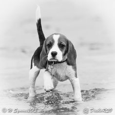 My lovely beagle puppy