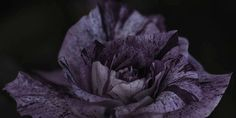 "Flowers in Neutral Moment-2015 "" Rose ( Purple Tiger ) "" Archival pigment print Printed on cotton rag fine art paper Photo by Soichi Oshika"