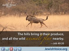 """""""The hills bring it their produce, and all the wild animals play nearby."""" Job 40:20 #scripture #verse www.jewishvoice.org"""