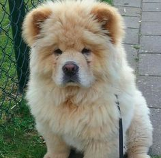 And this ball of fuzz who might actually be a friggen' BEAR. | 19 Floofertons To Warm Your Freezing Cold Wintery Heart
