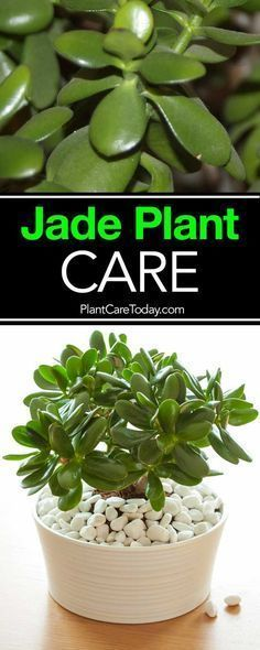 succulent garden care How To Care For and Grow The Jade Plant: Video The jade plant, care for these small, sturdy succulents is simple and the Crassula (real name) is a great beginner houseplant, along with the spider plant. Crassula Succulent, Succulent Care, Succulent Gardening, Cacti And Succulents, Planting Succulents, Planting Flowers, Organic Gardening, Jade Succulent, Gardening Tips