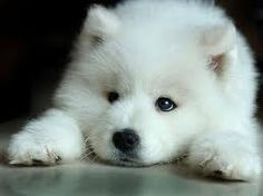 white wolves - Google Search