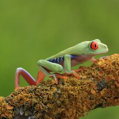 Angi Nelson photographs brilliantly colourful frogs at her home in Bristol.   She began taking pictures of frogs from her own collection after she was   diagnosed with ME, leaving her housebound.