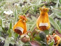 Calceolaria uniflora... en Tierra del Fuego
