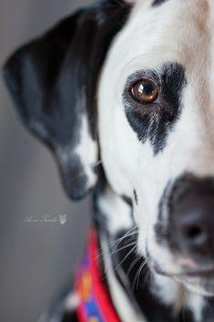 dalmatian Bird Aviary, Dalmatians, Dog Stuff, Pet Portraits, Photographs, Cottage, Puppies, Pets, Animals