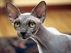 All about the Sphynx: this cat is an unusual cat that surprises everyone!