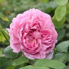 Charles Rennie Mackintosh English roses