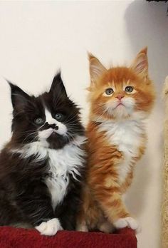 http://www.mainecoonguide.com/maine-coon-temperament/ #CatCute