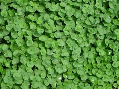 Image result for dichondra