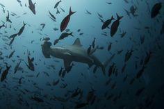 A hammerhead shark swims close to Wolf Island at Galapagos Marine Reserve August 2013 Framed Print Framed, Poster, Canvas Prints, Puzzles, Photo Gifts and Wall Art Big Shark, Shark Swimming, Ecuador, Species Of Sharks, Endangered Species, Marine Reserves, Hammerhead Shark, Humpback Whale, Apex Predator