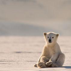 "the-smiling-wolf: "" 😊🐺💖 "" Cute Baby Animals, Animals And Pets, Funny Animals, Bear Cubs, Polar Bears, Bear Photos, Love Bear, Bear Art, Tier Fotos"