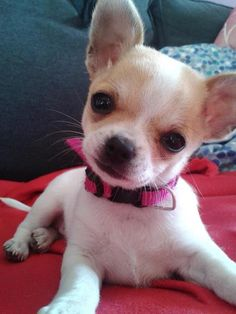 Effective Potty Training Chihuahua Consistency Is Key Ideas. Brilliant Potty Training Chihuahua Consistency Is Key Ideas. Teacup Chihuahua, Chihuahua Puppies, Cute Puppies, Cute Dogs, Dogs And Puppies, Doggies, Pomeranian, Sweet Animal, Baby Dogs